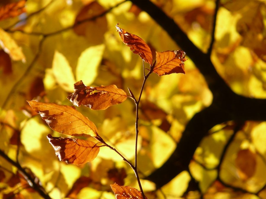 leaves, tree, beech